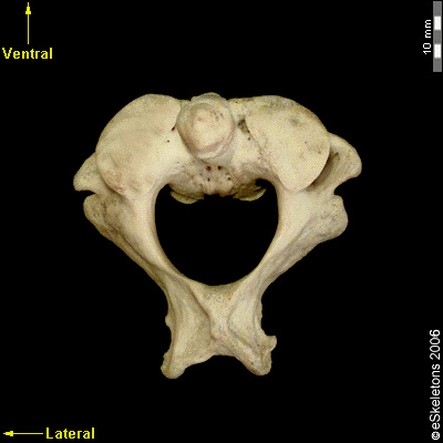 Boneviewer | eSkeletons